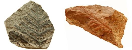 Les fossiles du Carbonifére