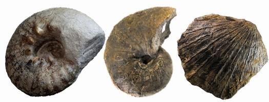 Les fossiles du Kimméridgien