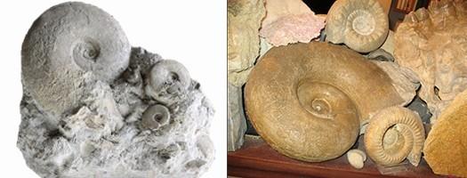 Les fossiles du Bajocien